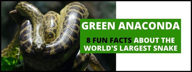 green-anaconda-fun-fact