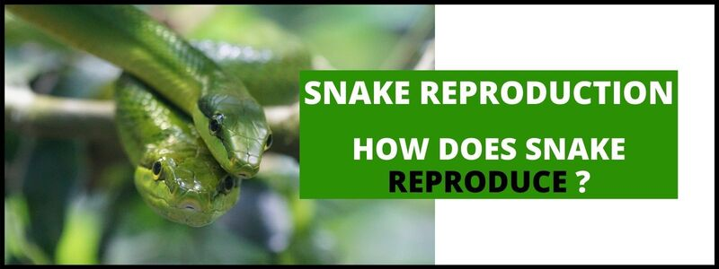 How Does a Snake Reproduce