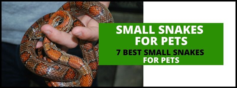 Best Small Snakes for Pets