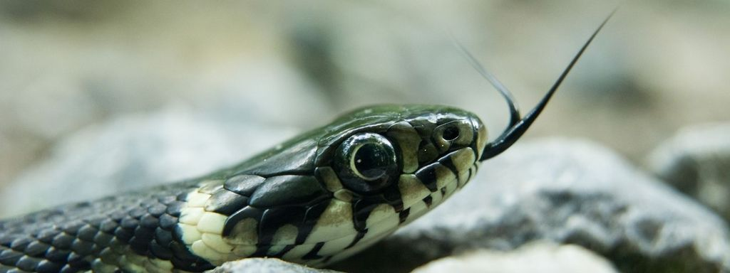 Grass Snake Picture