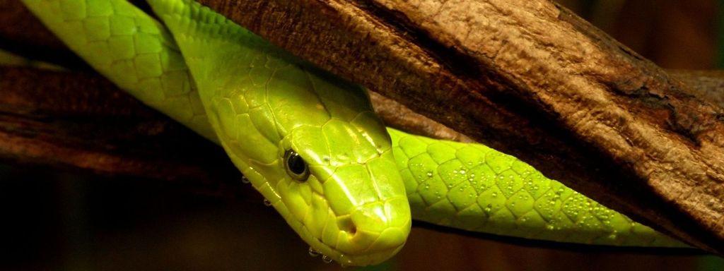 Green Mamba Venom