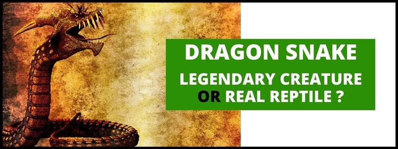 Dragon Snake: Legendary Creature Or Real Reptile ?