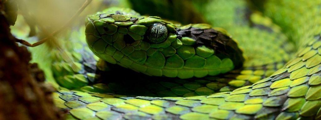 Egyptian Venomous Snake