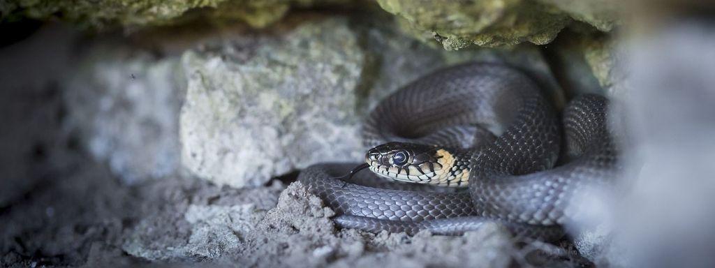 Grass Snake Shelter