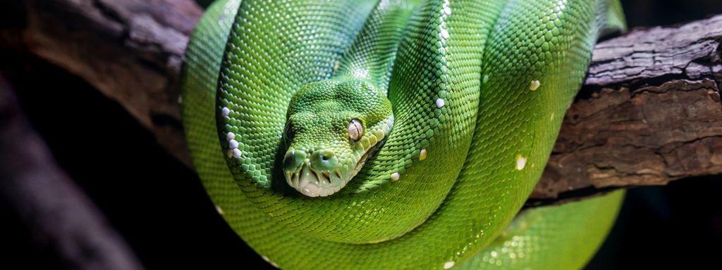 Green Tree Python on a branch