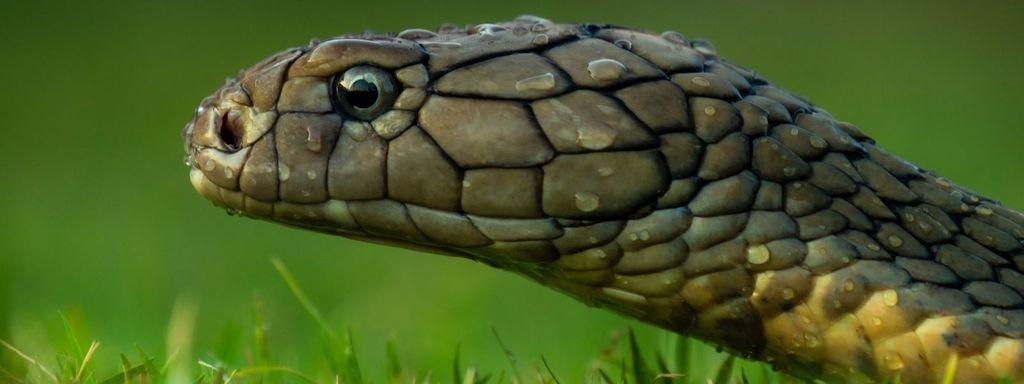 King Cobra Head