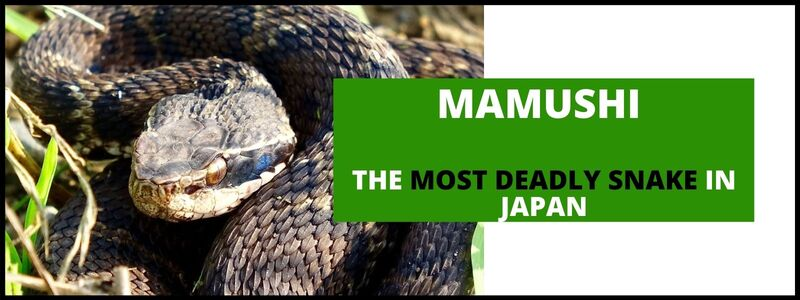 Mamushi (Gloydius Blmhoffii): The Most Deadly Snake in Japan