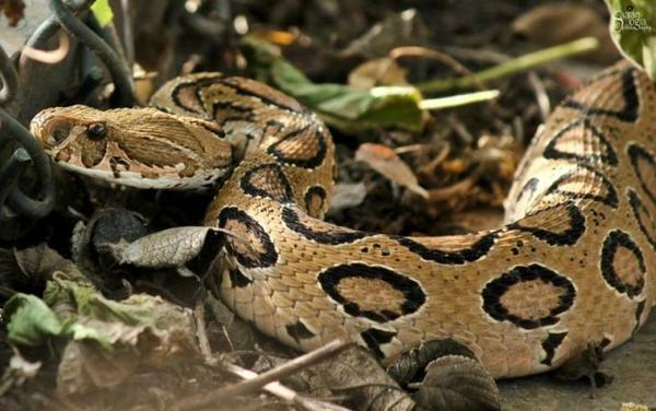 Russell's Viper
