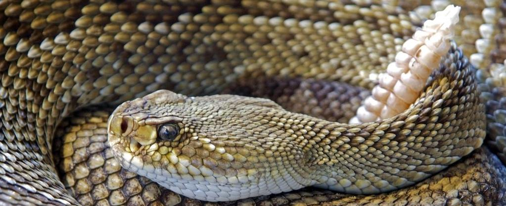 Western Diamondback Snake