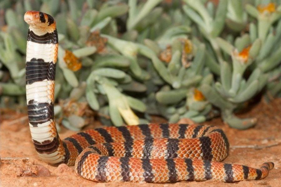 Serpent corail africain