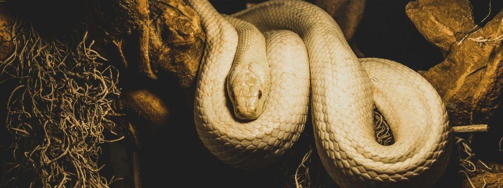 Big Pet Snake