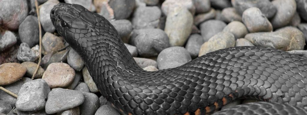 Black Snake in Dream Islam