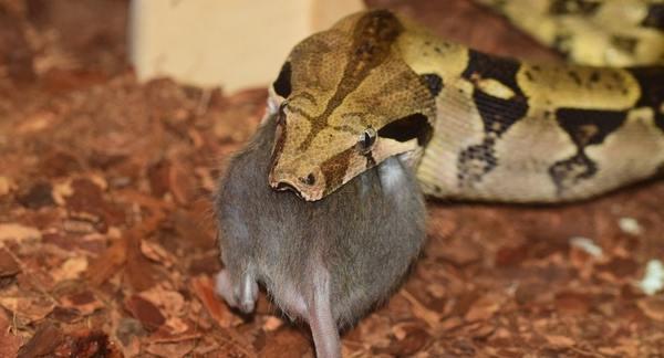 Boa Constrictor Feeding