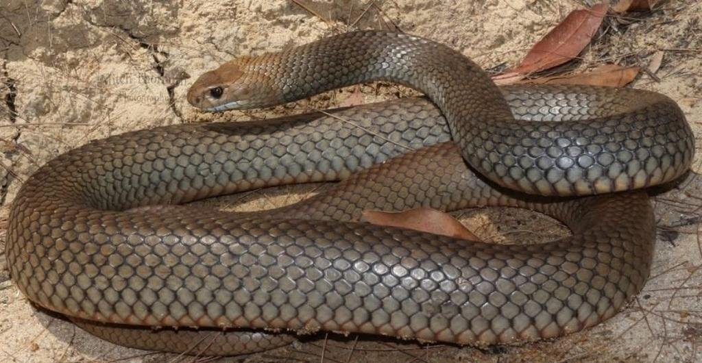 Common Brown Snake