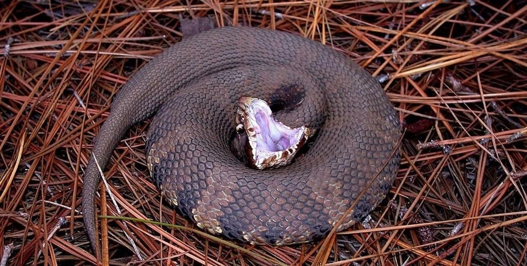Serpent à gueule de coton