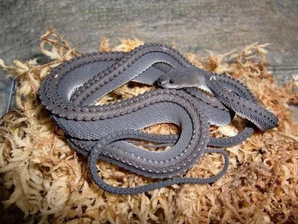 Dragon Snake xenodermus javanicus