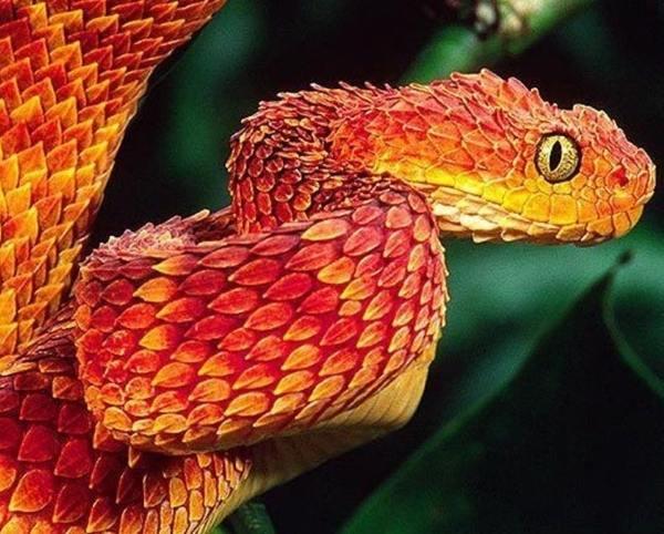 Dragon Snake Orange