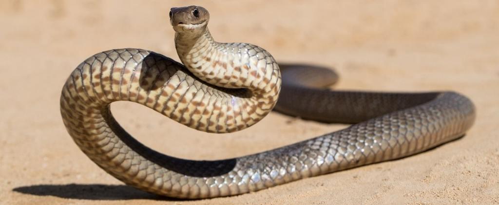 Eastern Brown Snake Bite