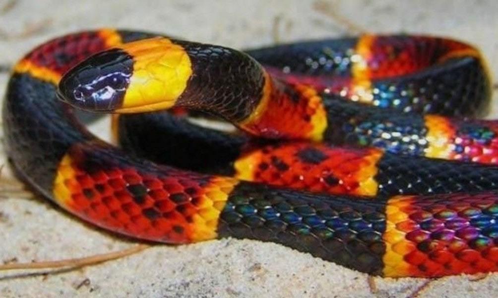 Serpent corail oriental