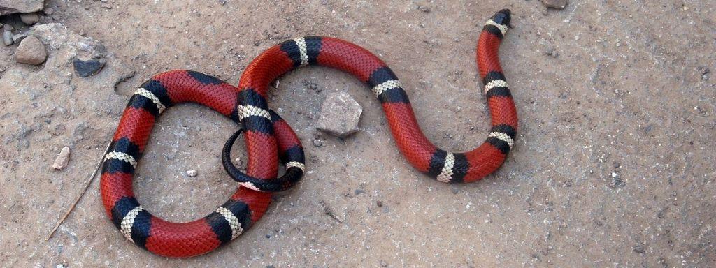 Faux serpent corail