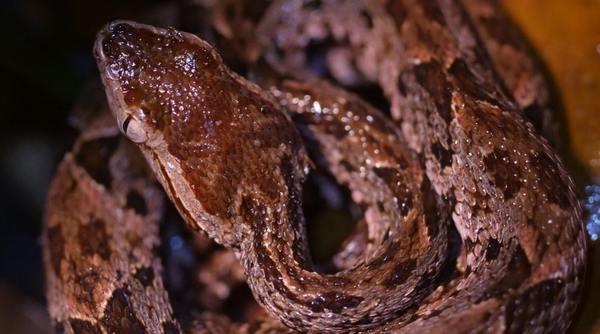 Fer-De-Lance Snake