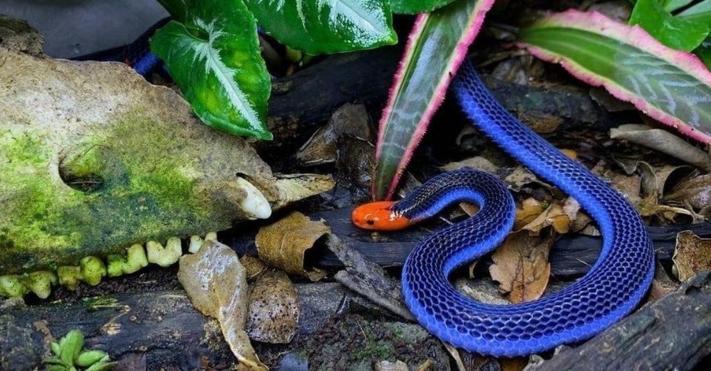 Serpent de corail bleu