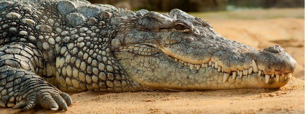 Snake and Crocodile in Dream Islam