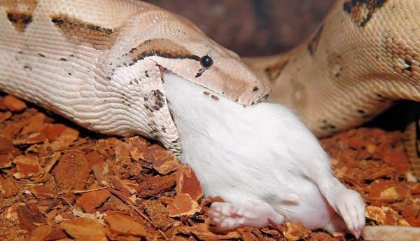 Snake Eating an Animal