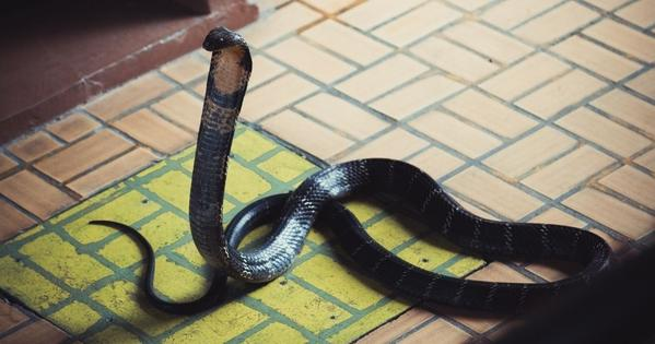 Snake In a House