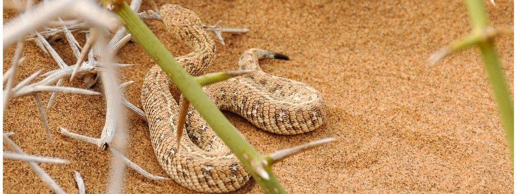 Snake On Desert