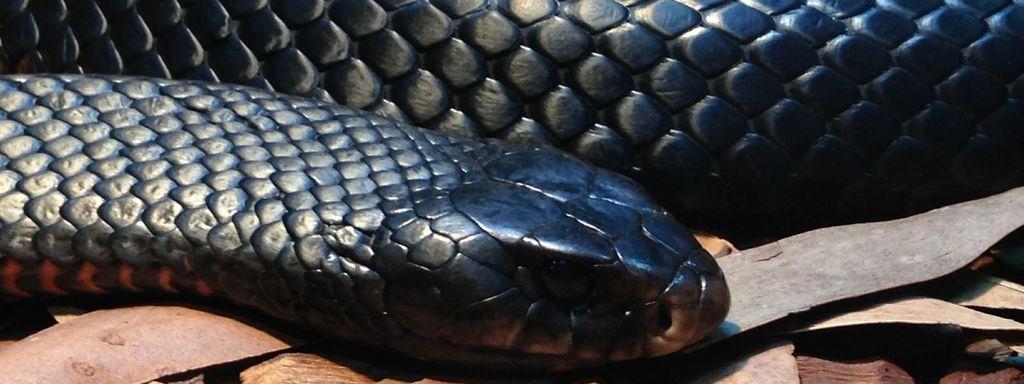 Non Venomous Snake