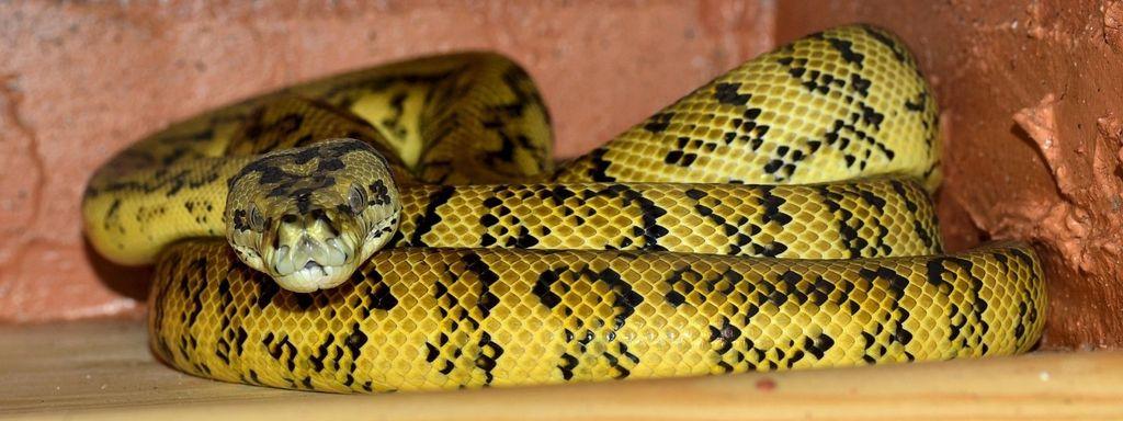 Yellow Snake in Dream Islam