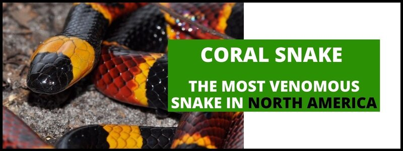 Coral Snake: The Most Venomous Snake in North America