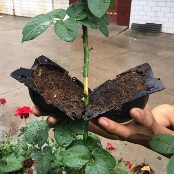 Dispositif De Greffage Des Plantes Raton Malin Noir-L
