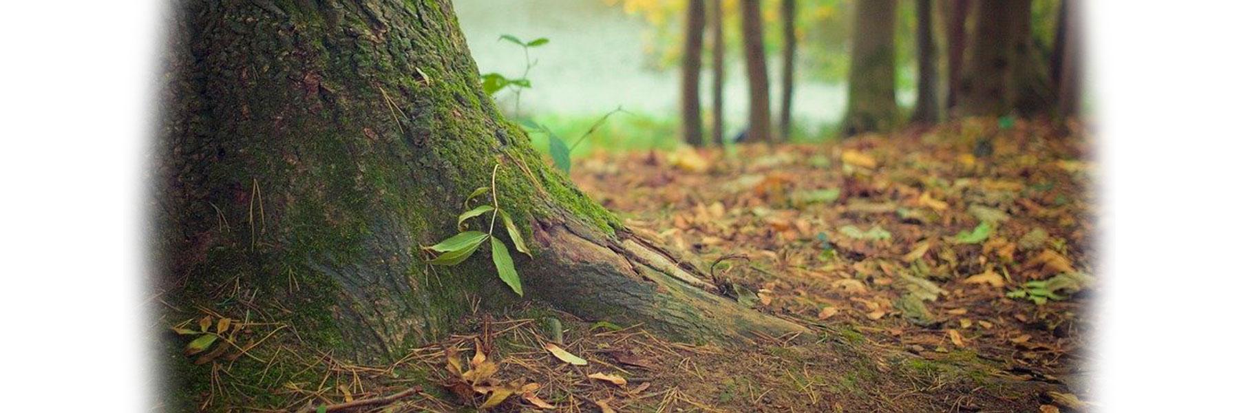 Plant d'arbre à truffe