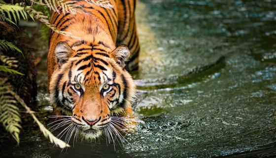 rêver de tigre quel interprétation ?