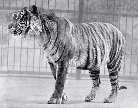 tigre de java ancienne photo