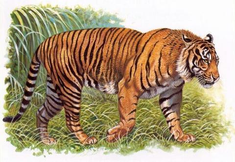 tigre de java représentation