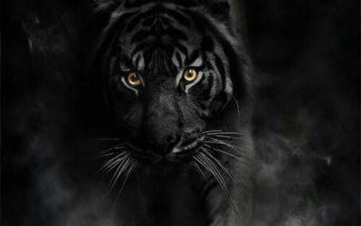 Tigre Noir