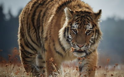 Tigre de la Caspienne