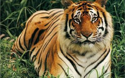 Tigre de Bali