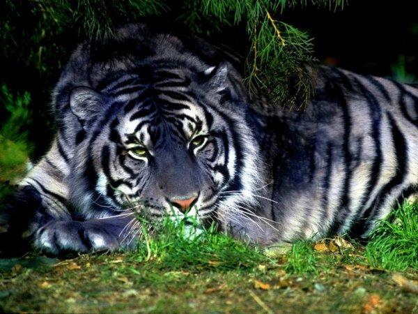 Tigre Maltais