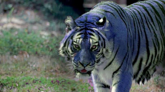 féroce tigre maltais