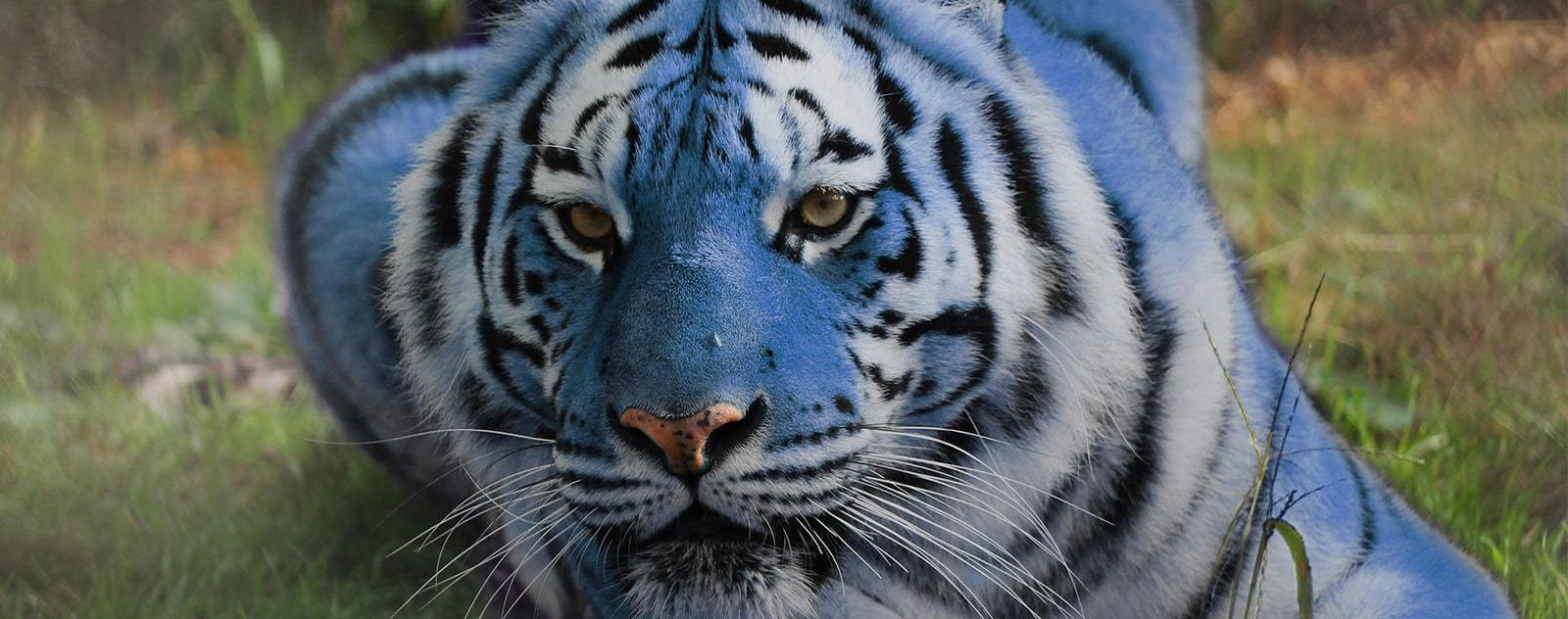 tigre maltais prairie