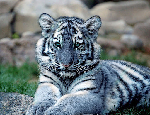 petit tigre maltais