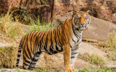 Tigre en Afrique